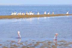 Grupowa dzika flamingów pelikanów oceanu woda, kościec Brzegowy Namibia Zdjęcia Stock