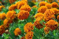 Pomarańczowi nagietków kwiaty Fotografia Stock