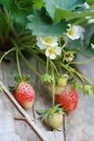 Grupowa truskawka w ogródzie Zdjęcia Stock
