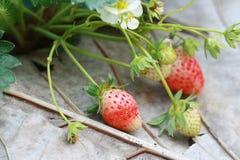 Grupowa truskawka w ogródzie Fotografia Royalty Free
