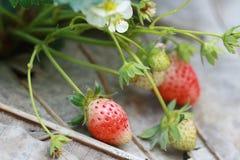 Grupowa truskawka w ogródzie Obrazy Royalty Free