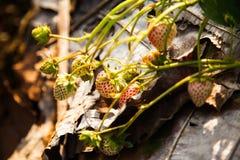 Grupowa truskawka w ogródzie Obraz Stock
