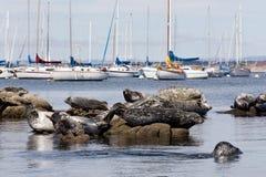 Grupowanie schronienie foki Obrazy Royalty Free