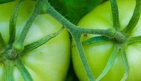 Grupowanie Zielony pomidoru zakończenie Zdjęcie Royalty Free