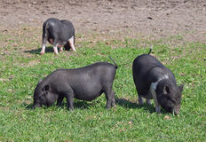 Grupowe mini świnie na paśniku Fotografia Royalty Free