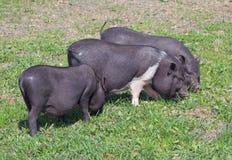 Grupowe mini świnie na paśniku Zdjęcie Royalty Free