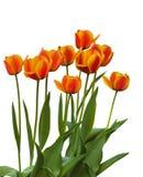 Grupowi Darwin hybrydów tulipany obrazy royalty free