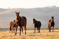 Grupowi dzicy konie Zdjęcia Stock