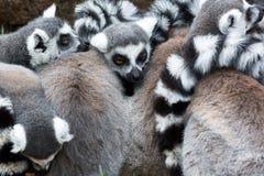 grupowi lemury dzwonią ogoniastego Zdjęcia Royalty Free