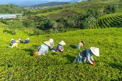 Grupowi rolnicy w pracowniczym kostiumu, conical kapelusze zbiera herbaty w ranku Zdjęcia Royalty Free