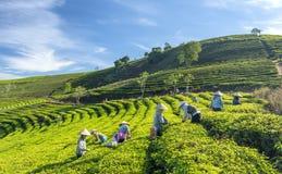 Grupowi rolnicy w pracowniczym kostiumu, conical kapelusze zbiera herbaty w ranku Zdjęcie Stock
