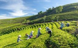 Grupowi rolnicy w pracowniczym kostiumu, conical kapelusze zbiera herbaty w ranku Fotografia Stock