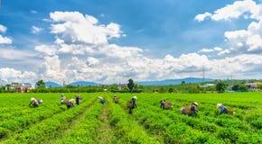 Grupowi rolnicy w pracowniczym kostiumu, conical kapelusze zbiera herbaty w ranku Obraz Royalty Free