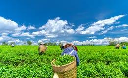 Grupowi rolnicy w pracowniczym kostiumu, conical kapelusze zbiera herbaty w ranku Zdjęcie Royalty Free