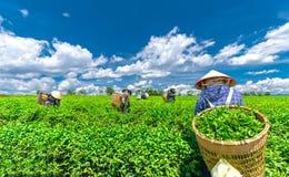 Grupowi rolnicy w pracowniczym kostiumu, conical kapelusze zbiera herbaty w ranku Obrazy Stock
