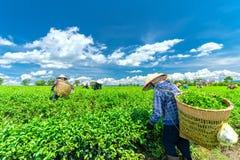 Grupowi rolnicy w pracowniczym kostiumu, conical kapelusze zbiera herbaty w ranku Fotografia Royalty Free