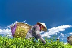 Grupowi rolnicy w pracowniczym kostiumu, conical kapelusze zbiera herbaty w ranku Zdjęcia Stock