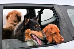 grupowi samochodowi psy patrzejący patrzeć okno obrazy royalty free