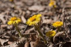Grupowi Tussilago kwiaty zdjęcie stock