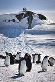 grupowi wielcy pingwiny Fotografia Royalty Free