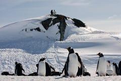 grupowi wielcy pingwiny Zdjęcia Royalty Free