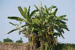 Grupowy Bananowy drzewo Zdjęcia Stock