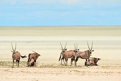grupowy gazeli oryx Obraz Stock