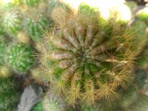 Grupowy kaktusowy drzewo Zdjęcia Stock