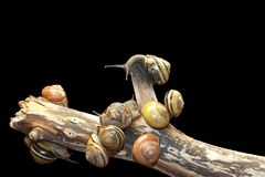 Grupowy lasowy ślimaczek, Cepaea nemoralis Zdjęcia Royalty Free
