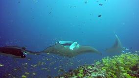 Grupowy manta promień relaksuje podwodnego w pasiastej fotograf szkoły ryba w oceanie zdjęcie wideo