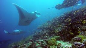 Grupowy manta promień relaksuje w pasiastym fotograf szkoły ryba dnie morskim w jasnej błękitne wody zbiory wideo
