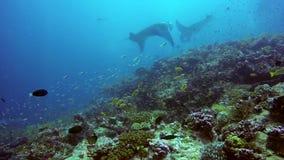 Grupowy manta promień relaksuje w pasiastym fotograf szkoły ryba dnie morskim w jasnej błękitne wody zbiory