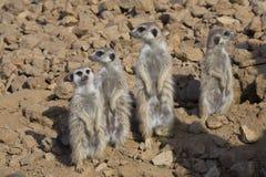 Grupowy Meerkat, Suricata suricatta, obserwuje otoczenia Zdjęcia Stock
