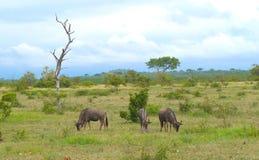 Grupowy pastwiskowy wildebeest w Kruger safari rezerwie w Południowa Afryka zdjęcie royalty free