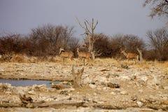 Grupowy Wielki kudu, Tragelaphus strepsiceros przy waterhole, Etosha park narodowy, Namibia Zdjęcia Royalty Free