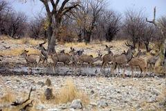 Grupowy Wielki kudu, Tragelaphus strepsiceros przy waterhole, Etosha park narodowy, Namibia Zdjęcie Stock