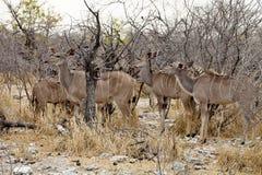 Grupowy Wielki kudu, Tragelaphus strepsiceros w Etosha parku narodowym, Namibia Fotografia Stock