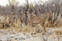 Grupowy Wielki kudu, Tragelaphus strepsiceros w Etosha parku narodowym, Namibia Obrazy Royalty Free