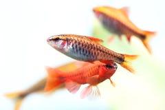 Grupowych pięknych akwarium ryba czerwony pomarańczowy kolor Czereśniowy barbet łowi makro- natury pojęcie głębokość pola płytki Obraz Stock