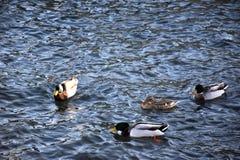 Grupp av änder i sjön Fotografering för Bildbyråer