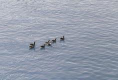 Grupp av änder på vatten Royaltyfri Fotografi