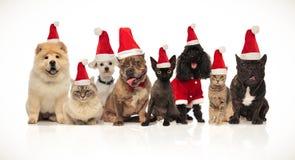 Grupp av åtta förtjusande santa katter och hundkapplöpning med dräkter royaltyfri fotografi