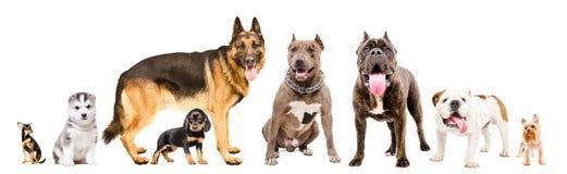 Grupp av åtta gulliga hundkapplöpning royaltyfria bilder