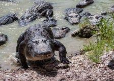 Grupp av alligatorer. royaltyfri bild