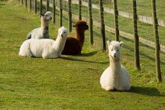 Grupp av Alpaca vid det diagonala staketet i fält som vilar att ligga ner brunt och vit Royaltyfri Foto