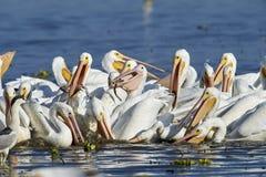 Grupp av amerikansk matning för vita pelikan Royaltyfri Bild