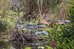 Grupp av amerikanska alligatorer Arkivfoto