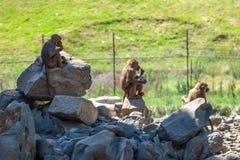 Grupp av apor i den Tbilisi zoo Royaltyfria Foton