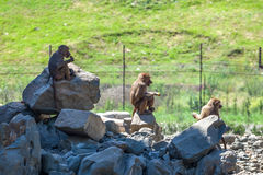 Grupp av apor i den Tbilisi zoo Arkivbilder