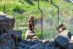 Grupp av apor i den Tbilisi zoo Arkivfoton